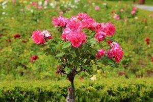 Grow Organic Roses