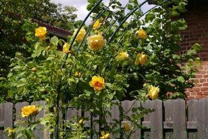 Organic Rose Garden