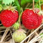 The Best Companion Plants for Growing Strawberries