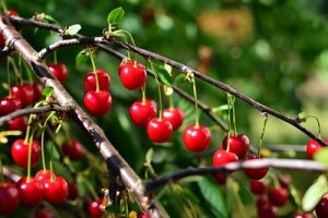 Growing Organic Cherries