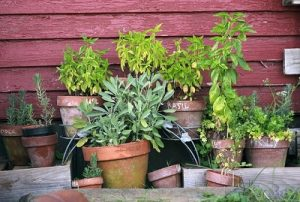 Growing Herbs in Pots