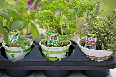 Growing Organic Herbs