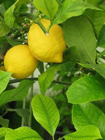 organic citrus trees