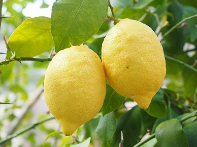 How to Care for an Organic Lemon Tree