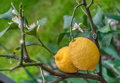 organic lemon tree
