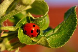 ladybug and aphid